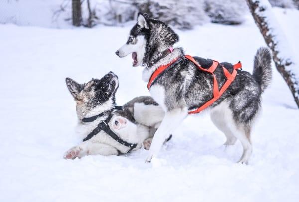 Huskies playing outside