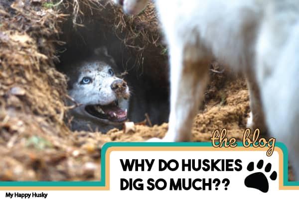 why do huskies dig