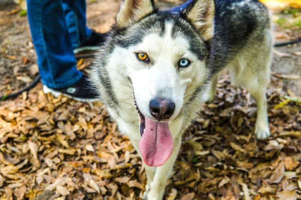 husky with different color eyes