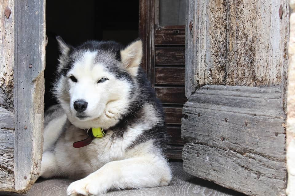 calm husky laying at home