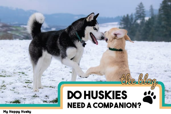 Do Huskies Need a Companion? What Owners Should Know