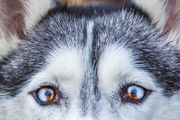 parti-colored eyes husky