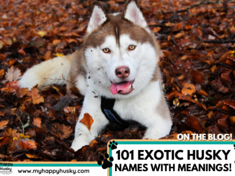 101 EXOTIC Husky Names WITH Meanings! Male & Female