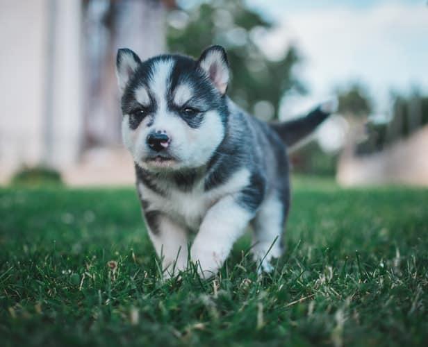 best exotic names for siberian husky