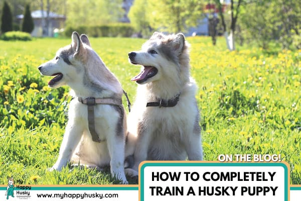 How to Completely Train a Husky Puppy | The Ultimate Guide