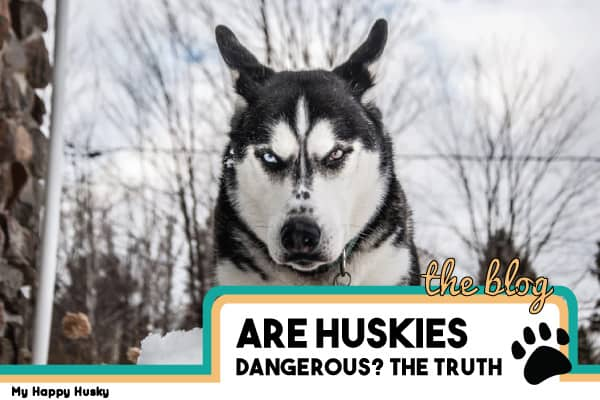 are huskies dangerous