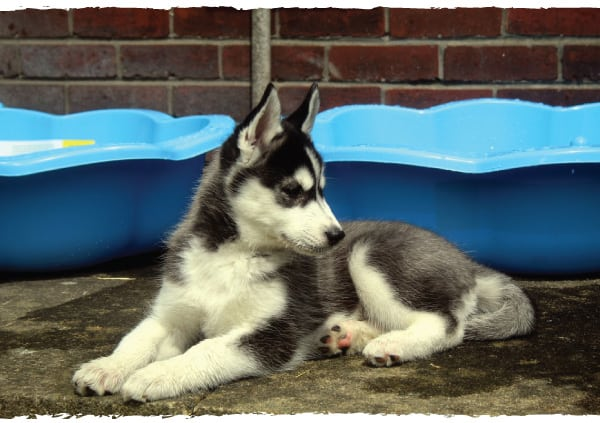 what to feed a husky puppy