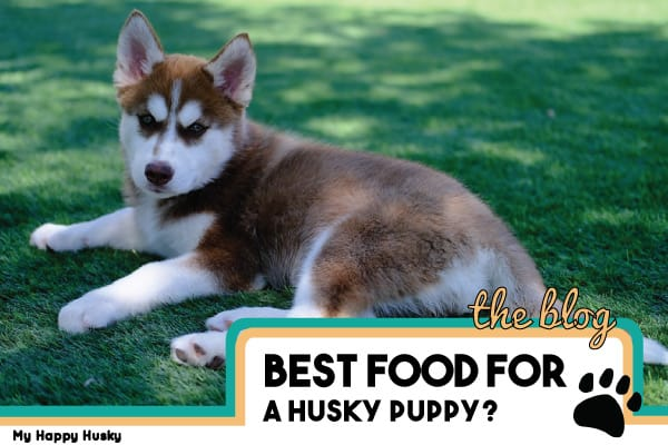 Best Food For Your Husky Puppy | Husky Puppy Feeding Guide