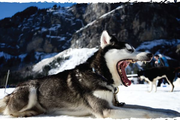 do huskies need to be in the cold
