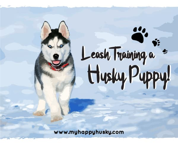 how to leash train a husky puppy