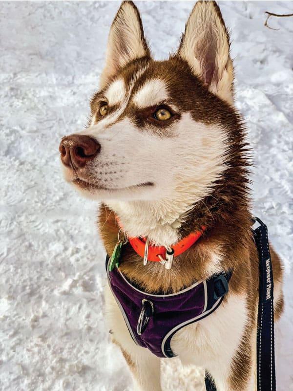 are huskies good family pets