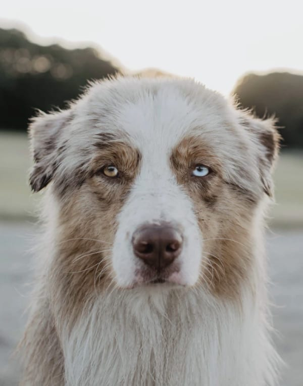 australian shepherd origins