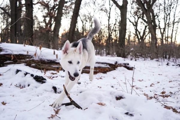 husky prey drive