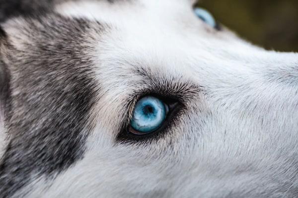 siberian husky vs alaskan malamute training