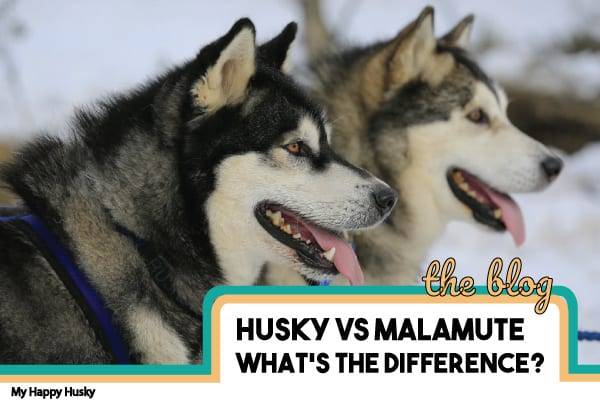 The KEY Differences Between Huskies & Malamutes! FACTS