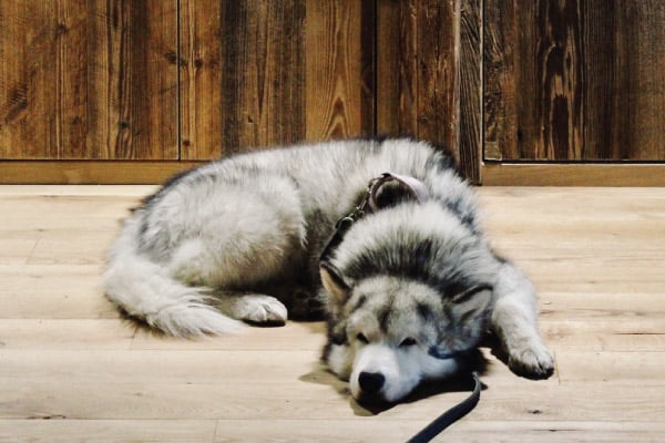 why your husky is so lazy