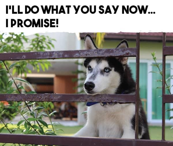 are huskies obedient?
