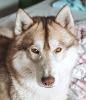 Brown-Eyed Husky
