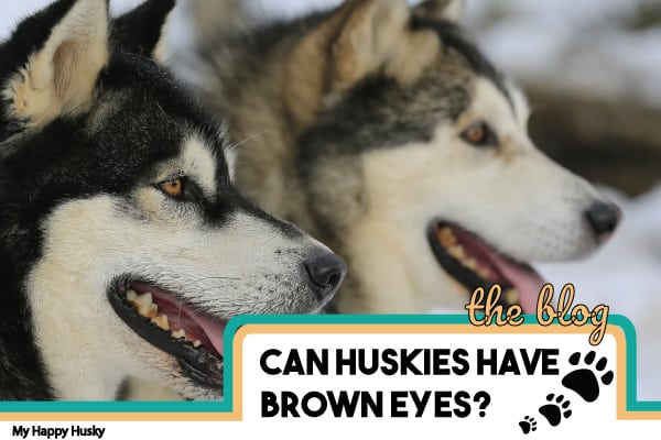 can huskies have brown eyes