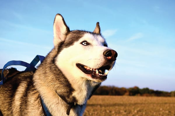 Tips to Keep Your Husky Cool in Hot Weather