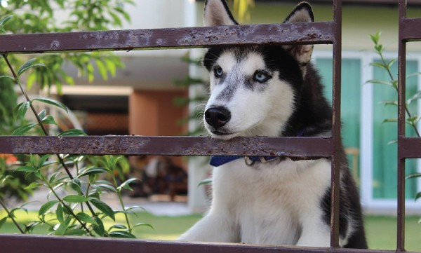 Why Your Husky Keeps Jumping The Fence And How To Stop It