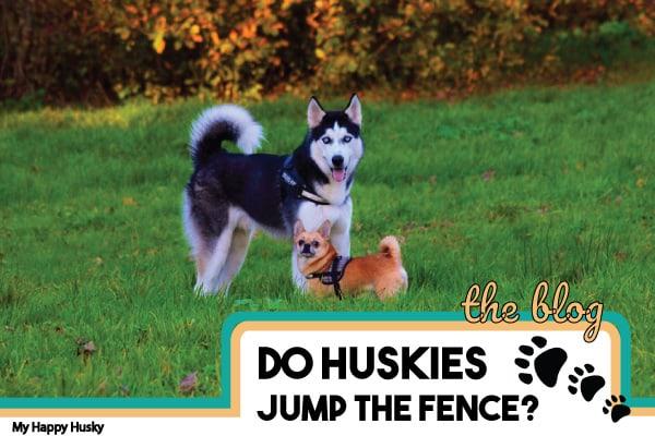 do huskies need a fenced yard