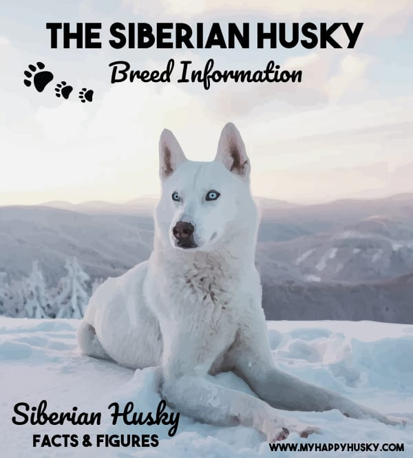siberian husky breed info