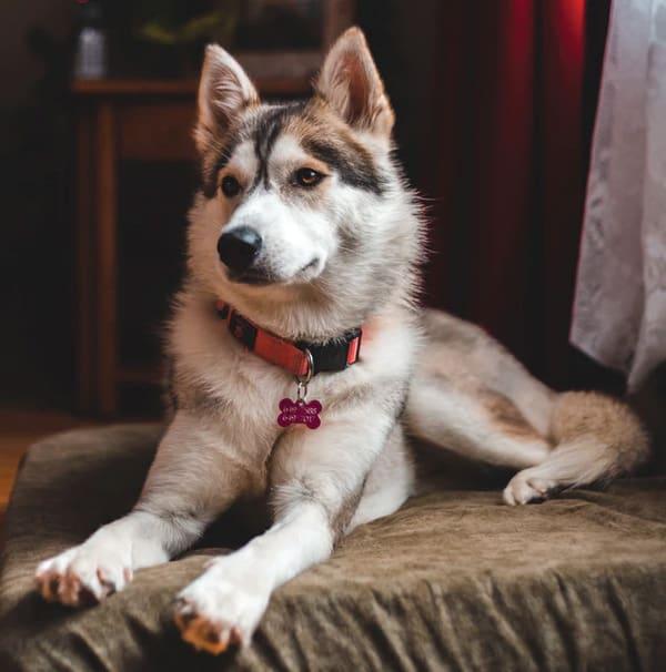 Can Purebred Huskies Have Brown Eyes?