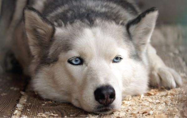 ill husky