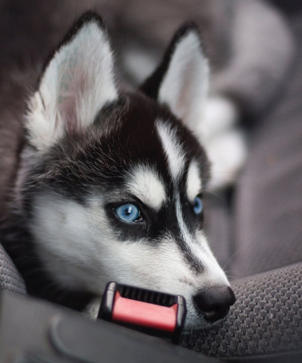 10 Tips to Make Car Travel With Huskies Safe and Easy