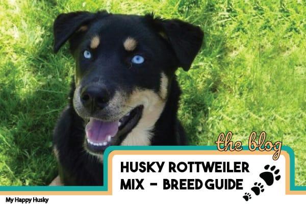 husky-rottweiler-mix-guide