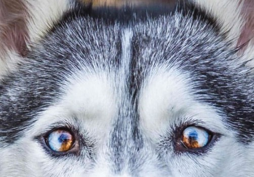 Particolored Husky