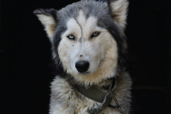 Reasons Why Your Husky is Depressed