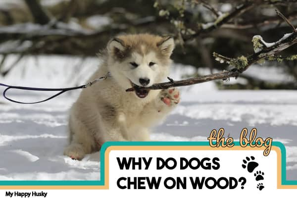 why do dogs chew on wood