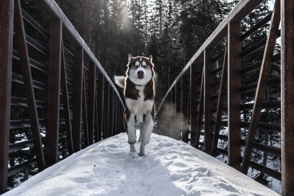 Will a Husky Protect its Owner