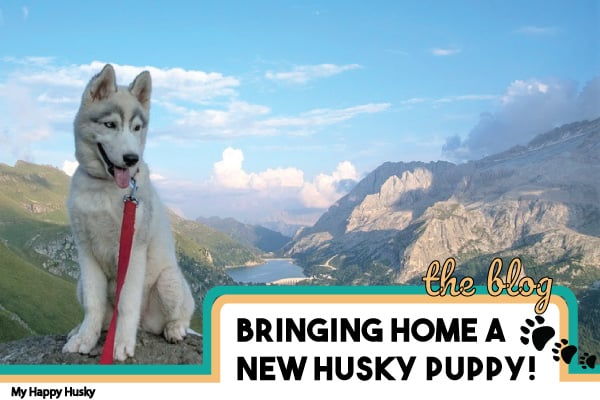 bringing home a new husky puppy
