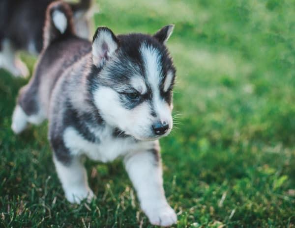 husky puppy with erect ears