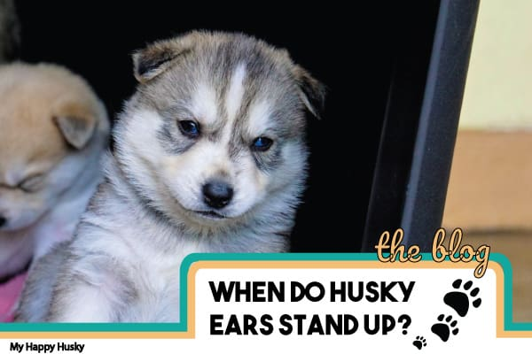when do husky ears stand up