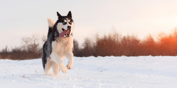 running with your husky