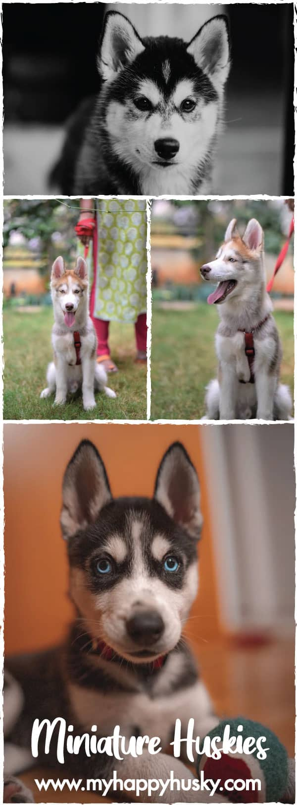 miniature husky photos