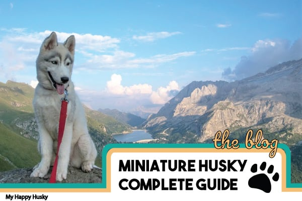 Miniature Husky Breed Facts: Photos, Price, Breeders & More