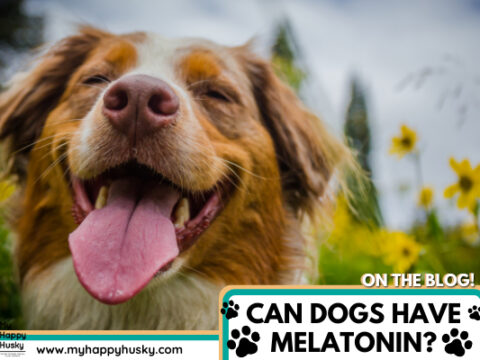 Can Dogs Have Melatonin? Things You Must Know Before!