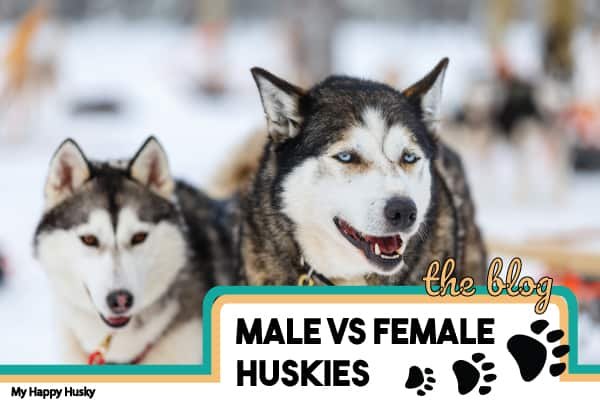 Male Vs Female Huskies: The KEY Differences