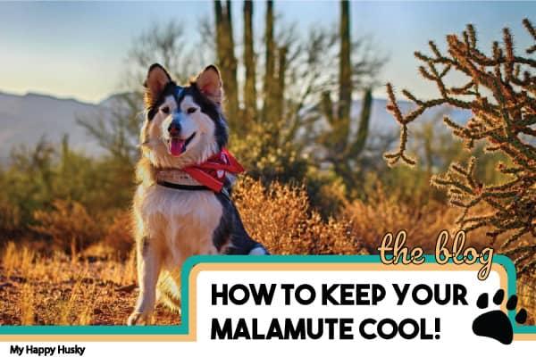 how to keep malamute cool