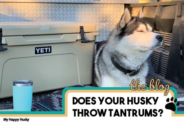why do huskies throw tantrums