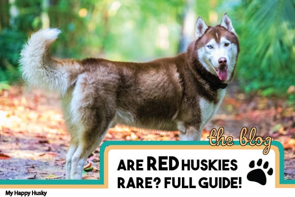 are-red-huskies-rare