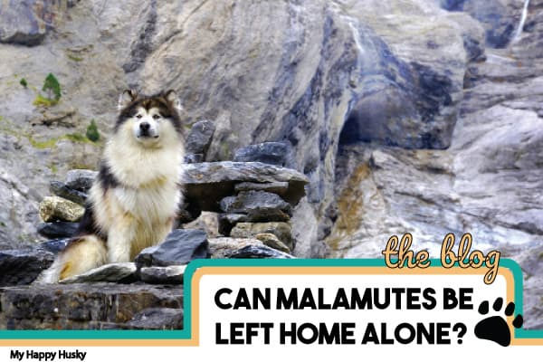 Can Alaskan Malamutes Be Left Alone? Tips You Must Know