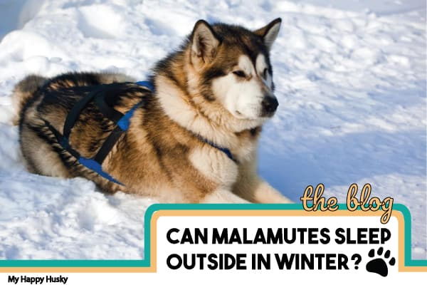can-malamutes-sleep-outside-in-winter
