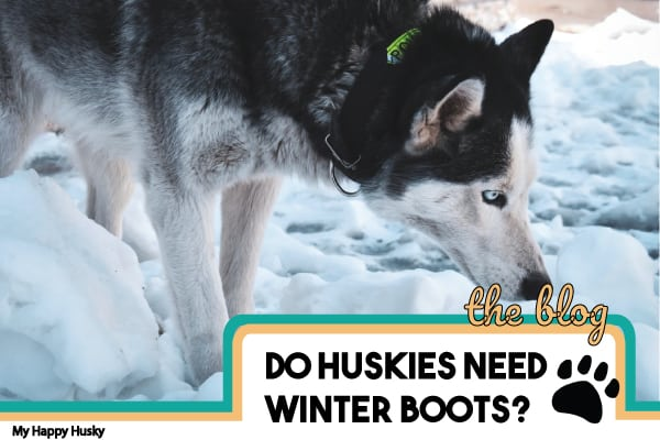 do-huskies-need-winter-boots