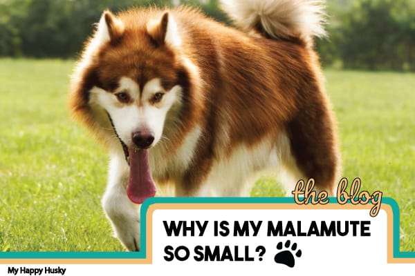 why-is-my-malamute-so-small
